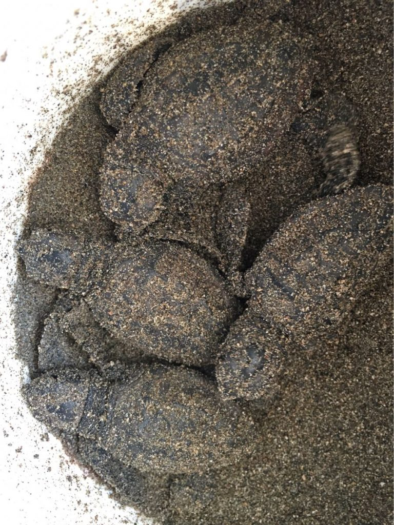 Turtle hatchlings saved from a nest where they could not get out
