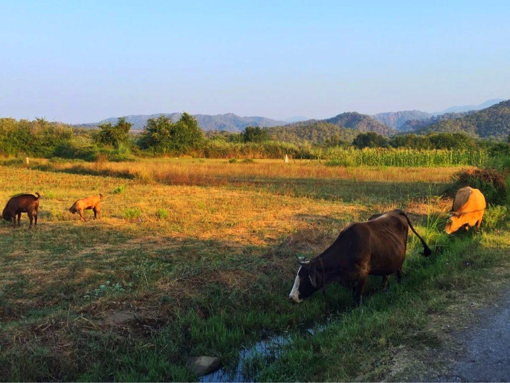 Yaniklar cows