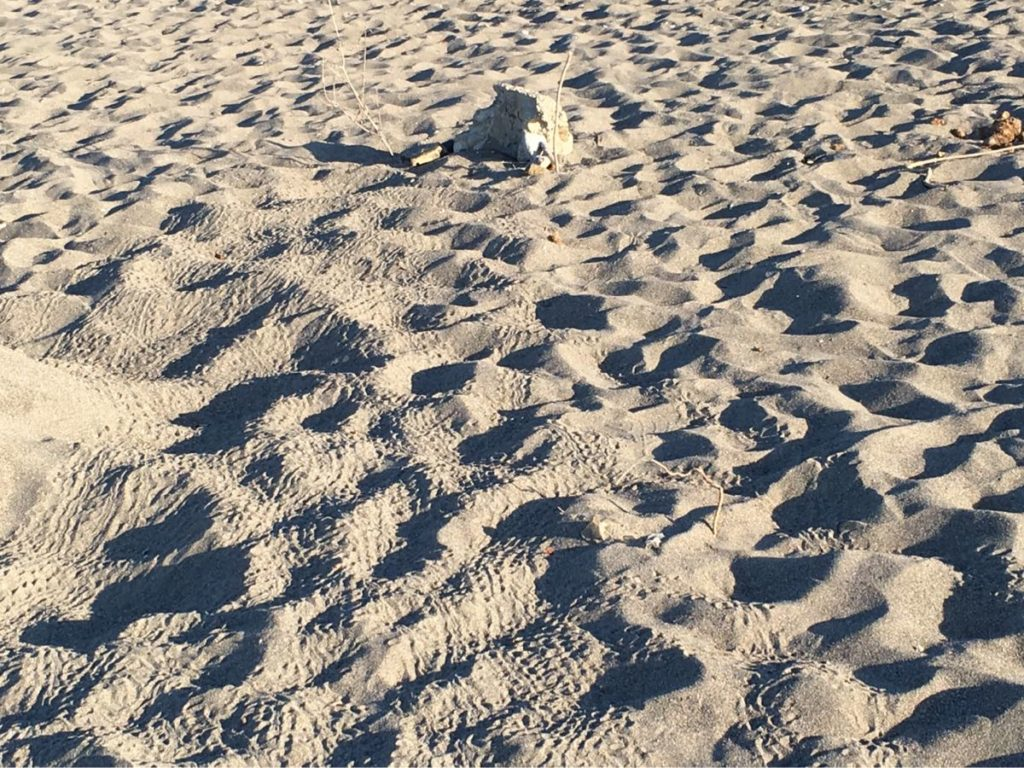 Turtle tracks of hatchlings